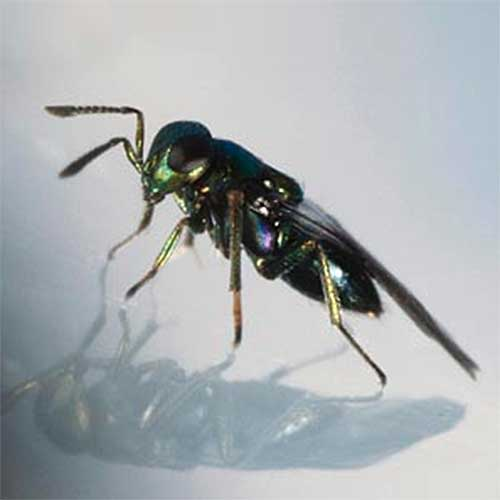 A close up square image of a parasitic wasp pictured on a soft focus background.