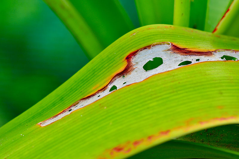 A close up horizontal image of pest damage on a bright green leaf pictured on a soft focus background.