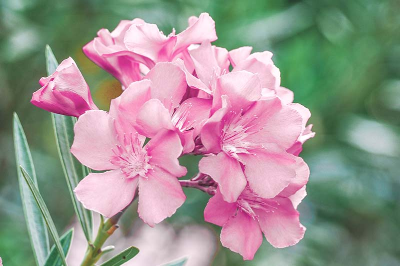 A close up horizontal image of bright pink Nerium oleander flowers pictured growing in the garden on a soft focus background.