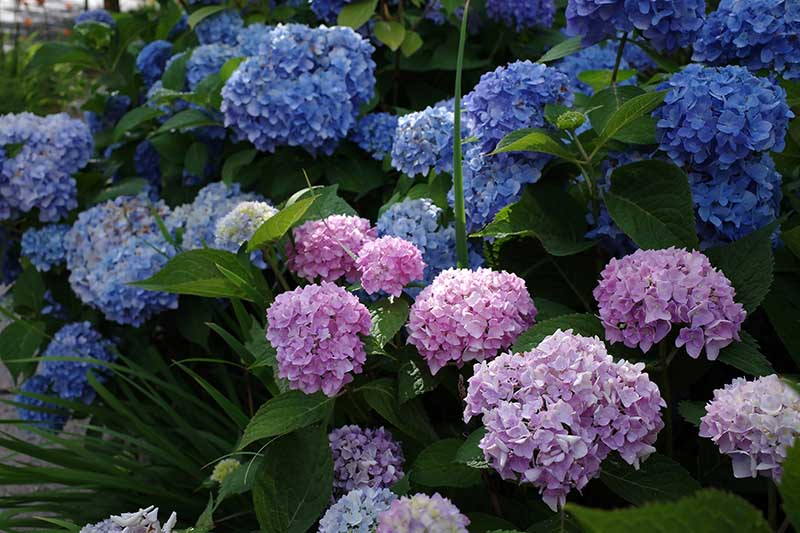 A close up horizontal image of blue and pink flowers growing in the garden pictured in light filtered sunshine on a soft focus background.