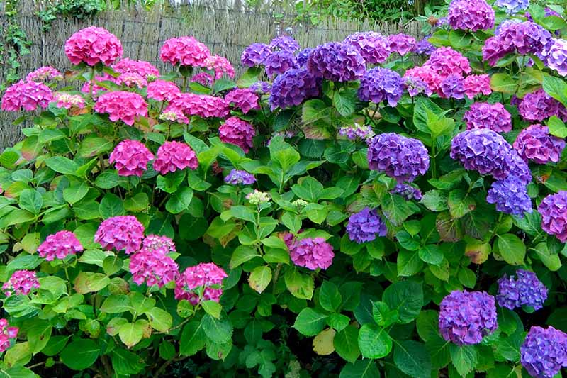 A close up horizontal image of a large flowering hydrangea shrub growing in the garden with a rustic fence in the background.