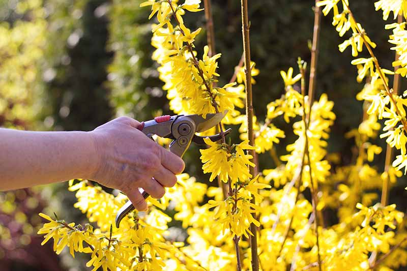 A close up horizontal image of a hand from the left of the frame holding a pair of pruning shears near to a bright yellow flowering shrub.