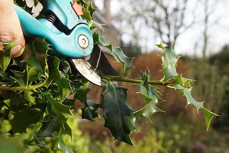 A close up horizontal image of a hand from the left of the frame pruning the branches of a holly bush, pictured on a soft focus background.