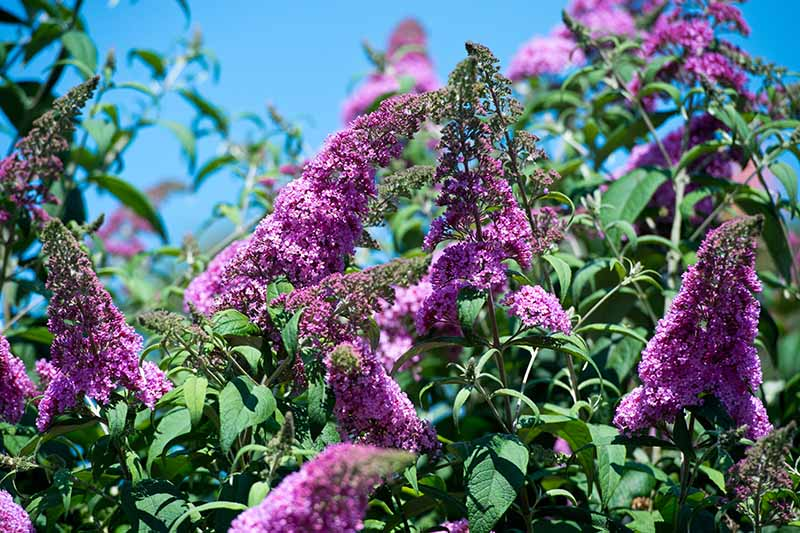 A close up horizontal image of the bright purple flowers of a butterfly bush growing in the garden pictured in bright sunshine on a blue sky background.