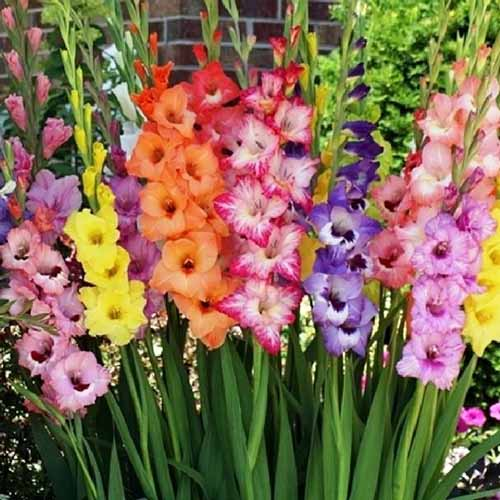 A close up square image of different colored gladiolus flowers growing in the garden pictured on a soft focus background.