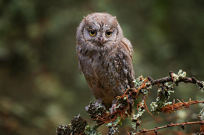 A close up horizontal image of an owl on the branch of a shrub pictured on a soft focus background.