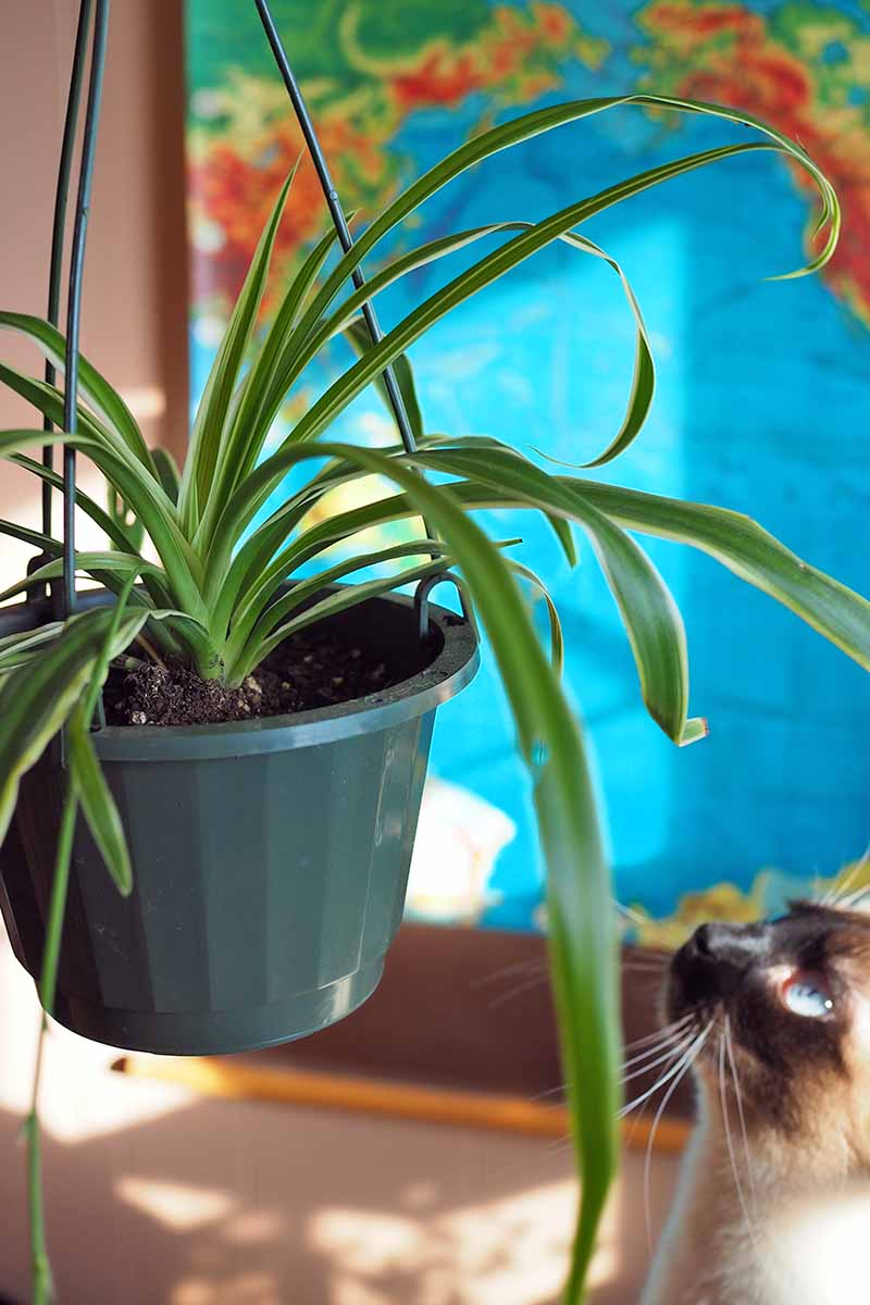 A close up vertical image of a Siamese feline ready to launch an attack on a houseplant in a hanging basket, pictured on a soft focus background.
