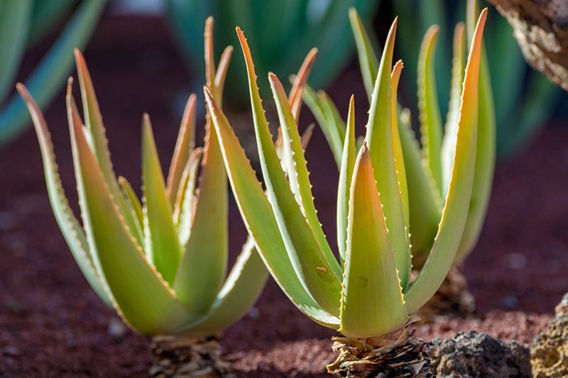 A close up horizontal image of two small aloe plants growing in the garden pictured in light filtered sunshine on a soft focus background.
