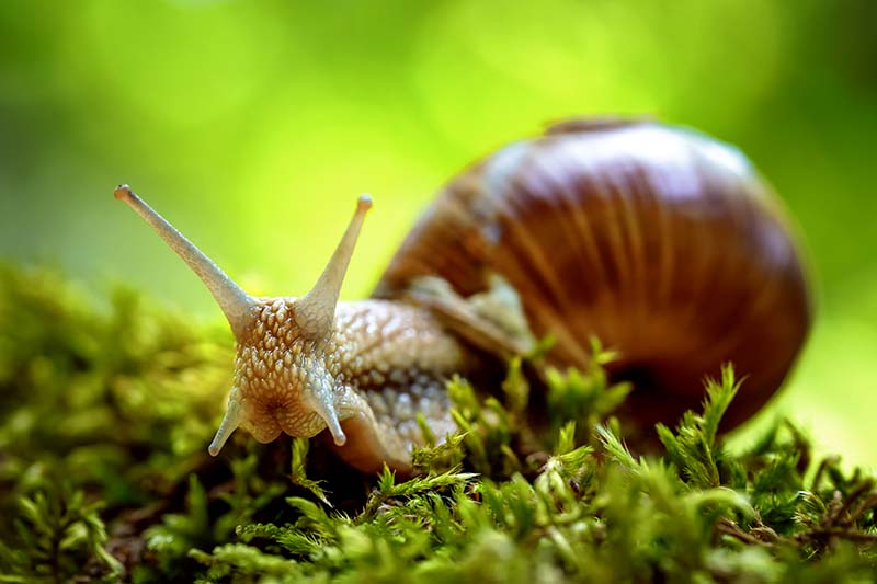 A close up horizontal image of a snail moving slowly across grass pictured on a soft focus green background.