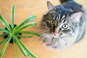 Are Spider Plants Toxic to Cats?