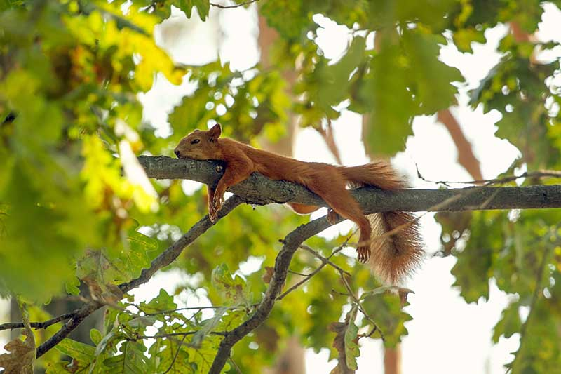 A close up horizontal image of a red squirrel resting on the branch of a tree pictured on a soft focus background.