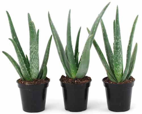 A close up horizontal image of three potted plants pictured on a white background.