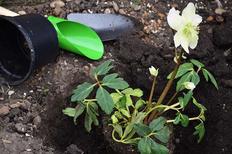 A close up horizontal image of a potted plant in the process of being transplanted into the garden with tools to the left of the frame.