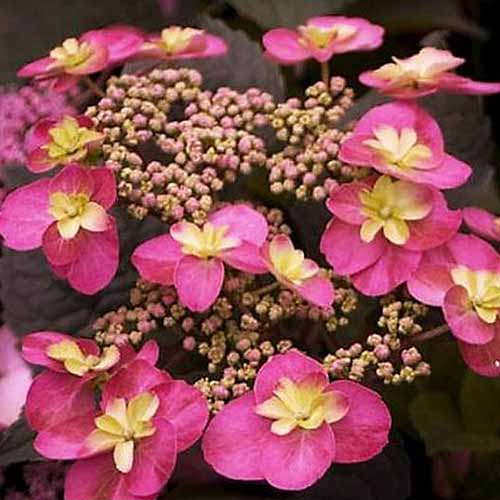 A close up of the blossoms of 'Tuff Stuff' red mountain hydrangea pictured on a soft focus background.