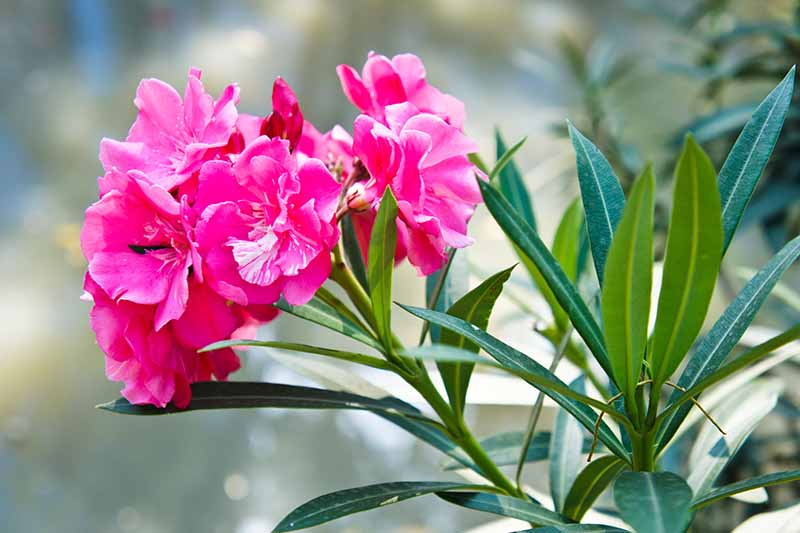 A close up horizontal image of bright vibrant pink flowers growing in the garden pictured on a soft focus background.