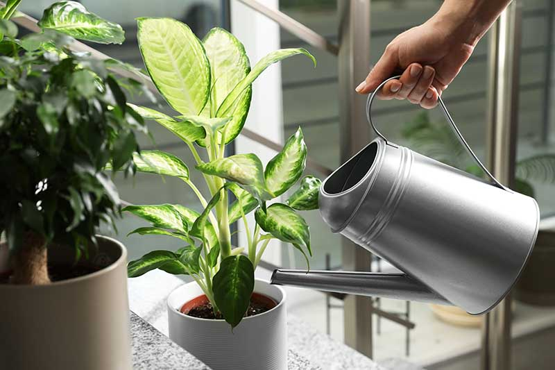 A close up horizontal image of a hand from the right of the frame holding a metal watering can and adding water to the pot of a dumb cane plant pictured on a soft focus background.