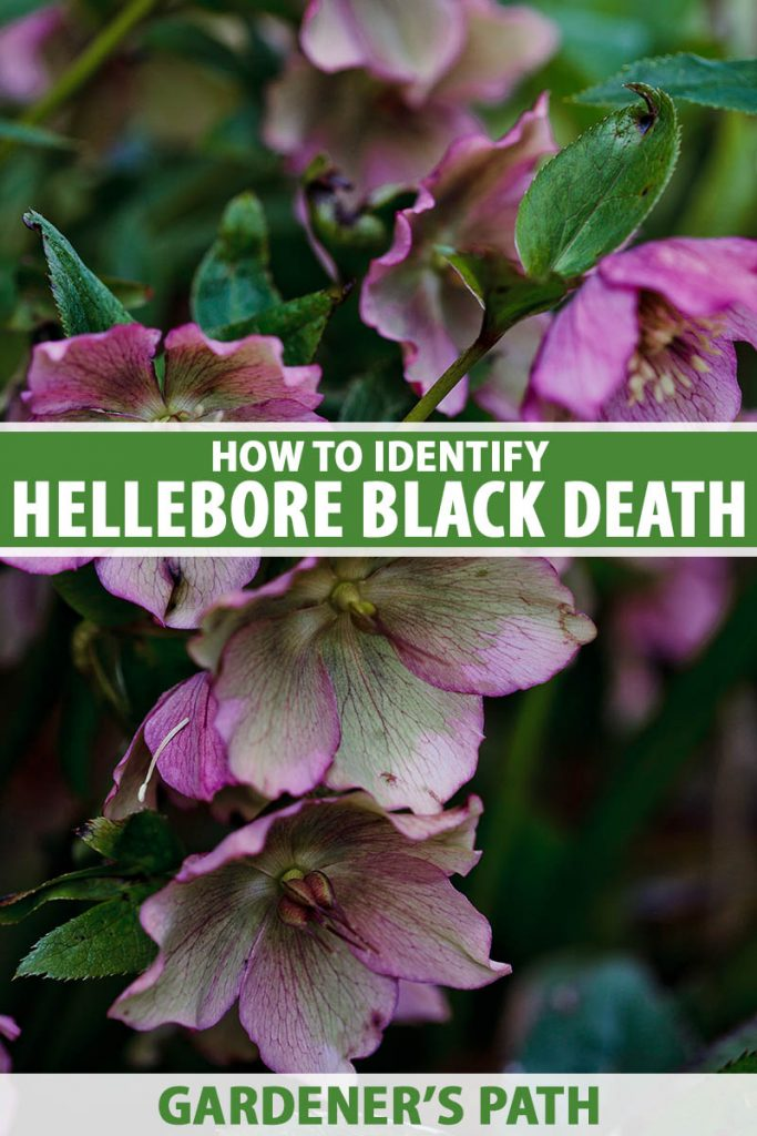 A close up vertical image of pink and purple Helleborus flowers growing in the early spring garden. To the center and bottom of the frame is green and white printed text.