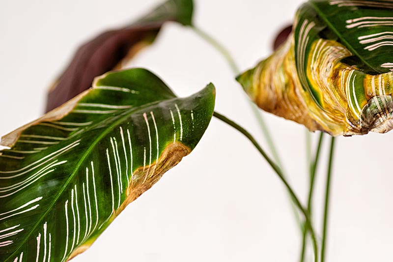A close up horizontal image of a maranta with discolored foliage pictured on a white background.