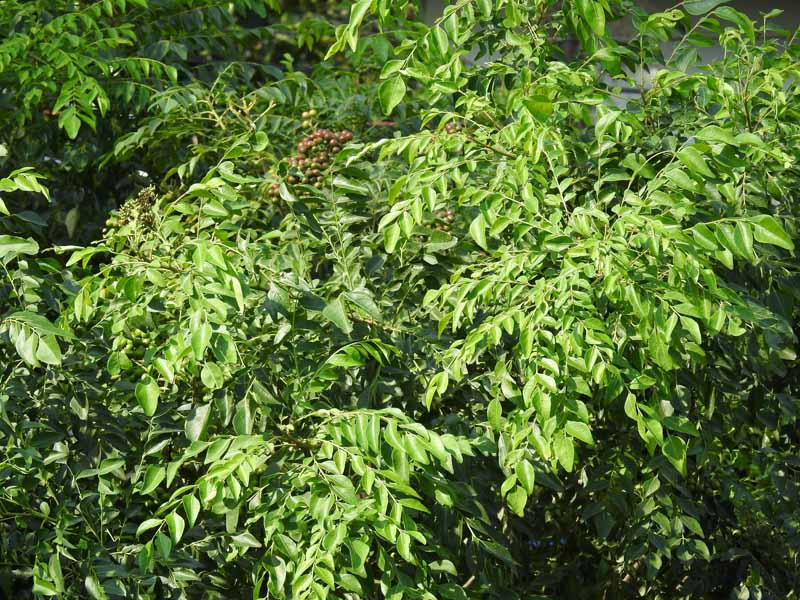 A close up horizontal image of curry leaf trees growing outdoors, pictured in bright sunshine.