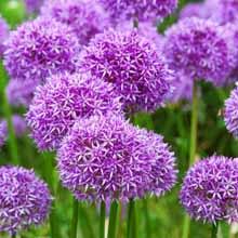 Purple ornamental allium flowers growing in a mass planting.