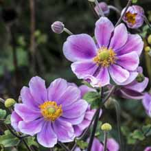Close up of two purple anemone flowers in bloom.