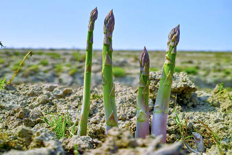 A close up horizontal image of asparagus spears ready to harvest.