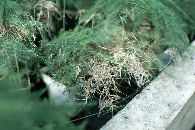 A close up horizontal image of an asparagus plant suffering from root rot.
