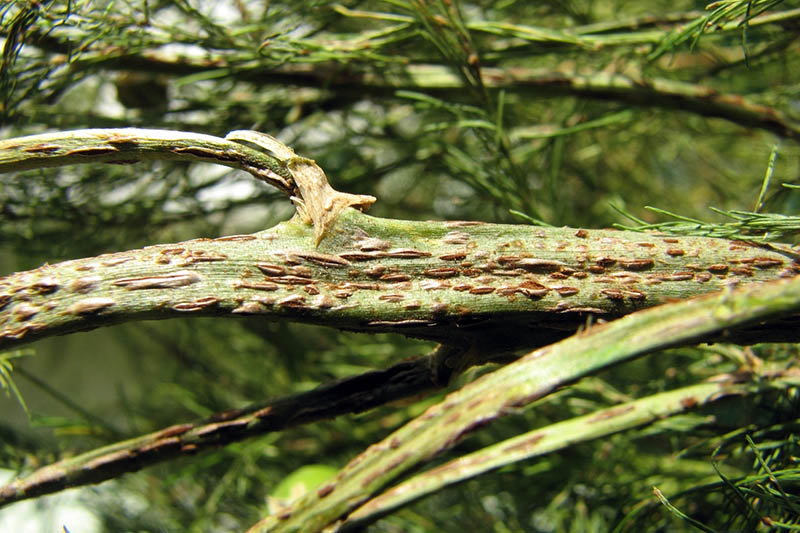 A closeup horizontal image of an asparagus plant suffering from rust, a fungal disease, pictured on a soft focus background.