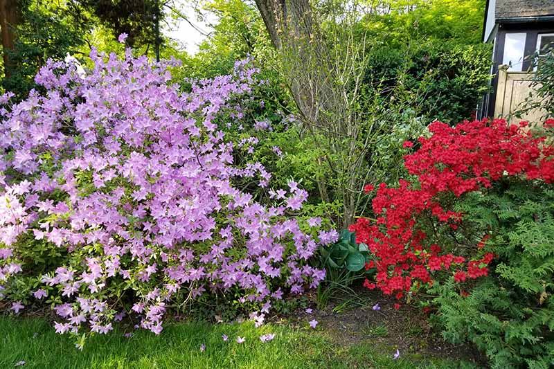 A close up horizontal image of red and purple flowering azaleas growing in a perennial border outside a home.