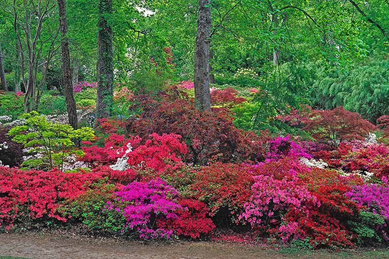 A horizontal image of a large swath of azaleas in full bloom growing underneath trees with a variety of different perennials in the background.