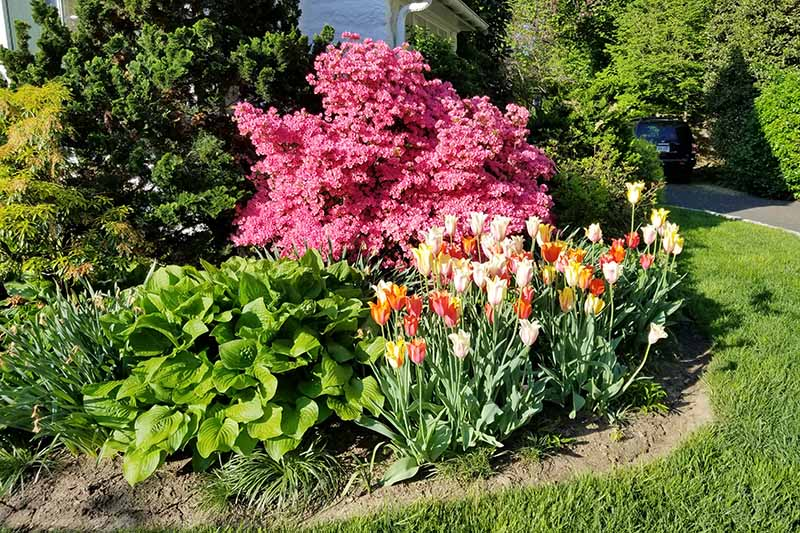 A horizontal image of a perennial border planted with tulips, hostas, and a large pink azalea pictured in bright sunshine.