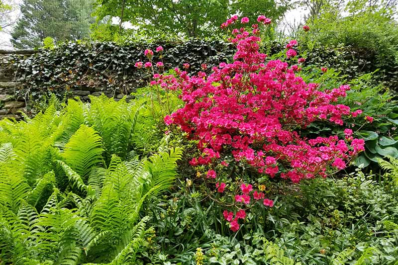 A horizontal image of an azalea shrub in full bloom planted with a variety of different perennial shrubs and ferns, with trees in soft focus in the background.