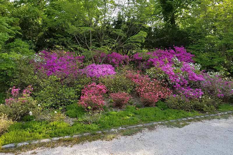 A horizontal image of flowering azaleas growing in a shady spot by the side of a pathway with perennial shrubs and trees in the background.