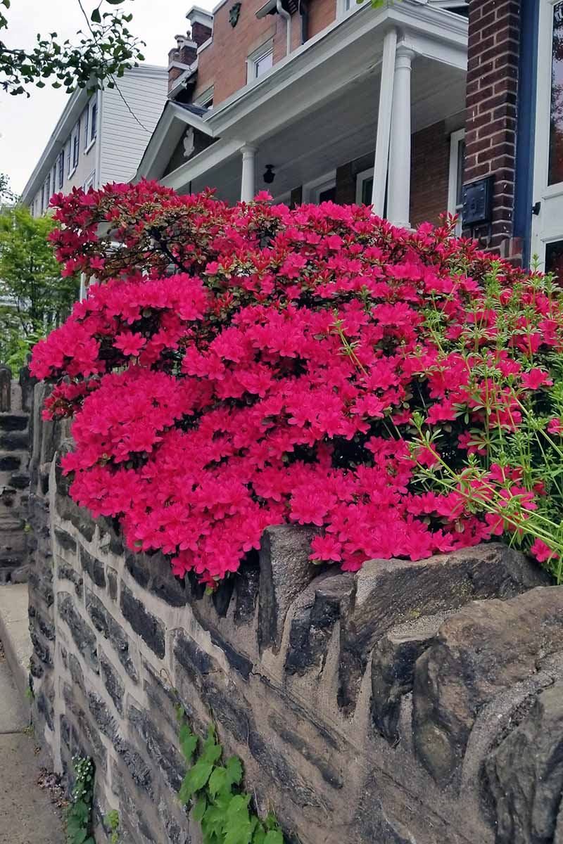 A vertical image of a bright red azalea spilling over a stone wall with houses in the background.
