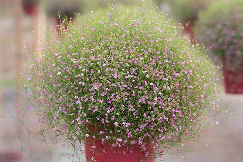 A close up horizontal image of a pink baby's breath plant growing in a hanging container pictured on a soft focus background.