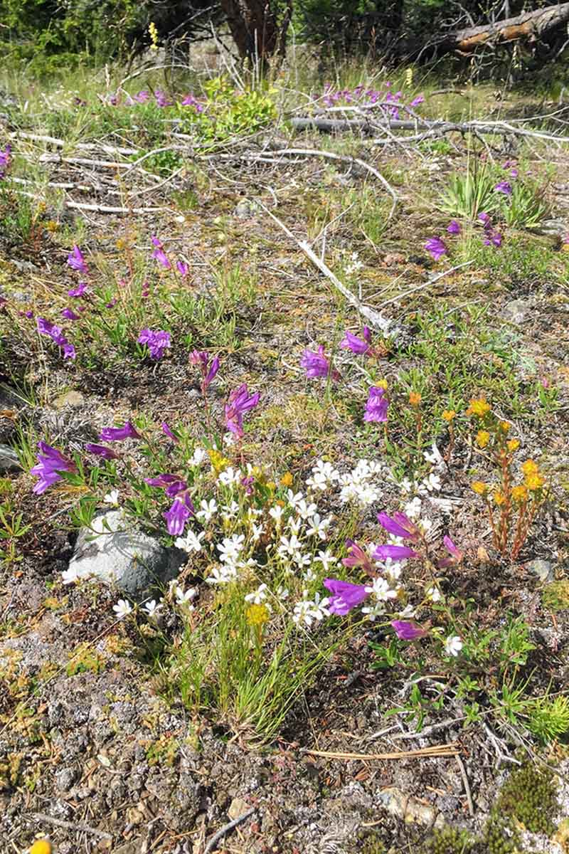 A vertical image of wildflowers growing wild in a rocky location.