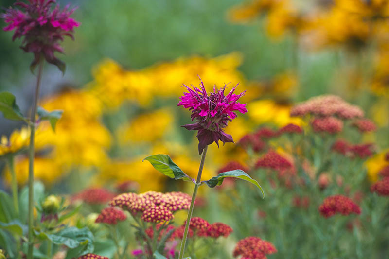 A close up horizontal image of a flower garden with yarrow and monarda.