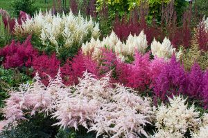 Add Color to Your Shade Garden with 15 of the Best Astilbe Varieties