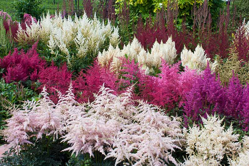 A horizontal image of a number of different varieties of astilbe growing in a perennial border with pink, red, and white flowers.
