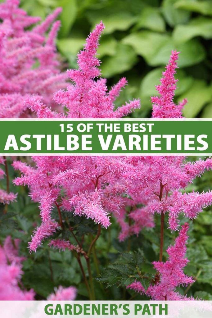 A close up vertical image of hot pink astilbe flowers growing in the garden pictured on a soft focus background. To the center and bottom of the frame is green and white printed text.