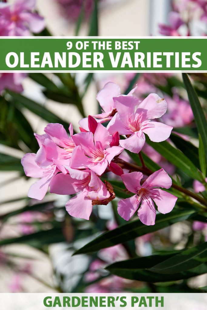 A close up vertical image of a cluster of pink oleander flowers growing in bright sunshine and pictured on a soft focus background. To the top and bottom of the frame is green and white printed text.