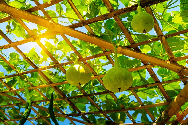 A close up horizontal image of Lagenaria siceraria fruits growing on a pergola with blue sky and sunshine in the background.