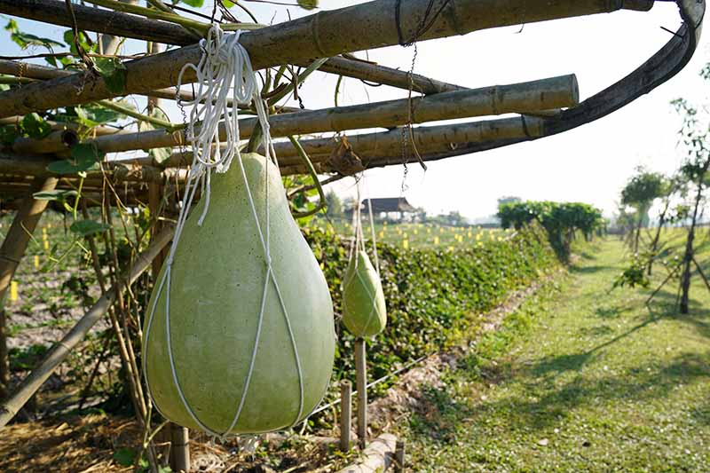 A close up horizontal image of Lagenaria siceraria fruits growing on a trellis supported with string bags.