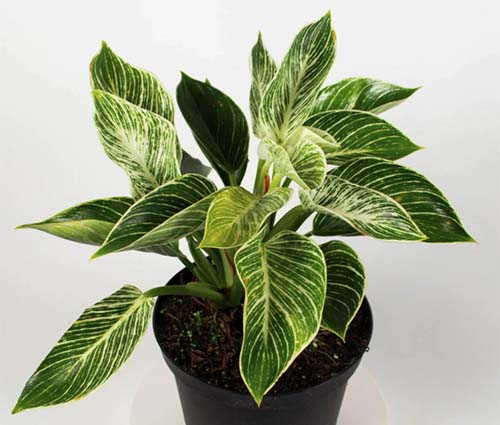 A close up horizontal image of a 'Birkin' foliage plant growing in a pot pictured on a white background.