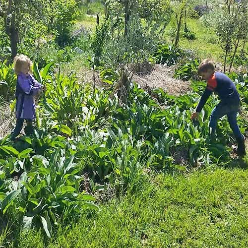 Two children in the garden tending a patch of 'Bocking 14' comfrey, with other green plants, in bright sunshine.