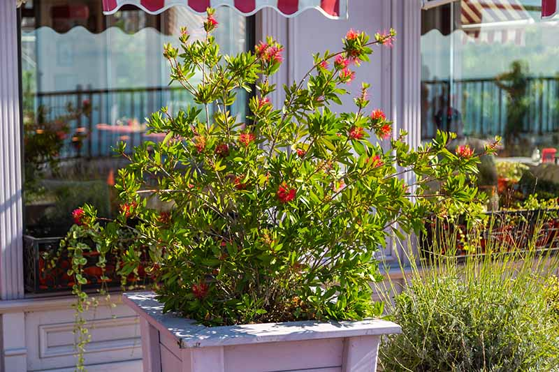 A close up horizontal image of a Callistemon shrub growing in a wooden planter outside a cafe pictured in bright sunshine.