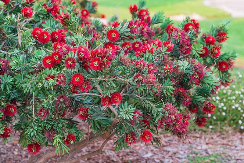 A close up horizontal image of a Callistemon shrub growing in a perennial border with bright red flowers pictured on a soft focus background.