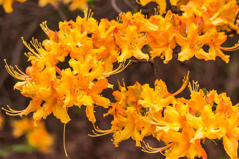 A close up horizontal image of bright orange azalea flowers growing in the garden pictured on a soft focus background.