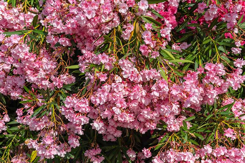 A horizontal image of bright pink Kalmia latifolia blossoms pictured in bright sunshine.