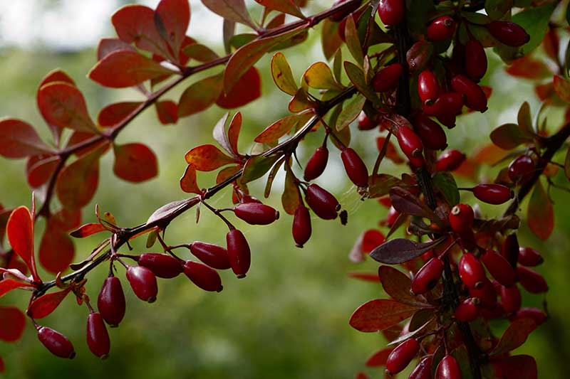 A close up horizontal image of the bright red berries of Berberis vulgaris growing in the garden pictured on a soft focus background.